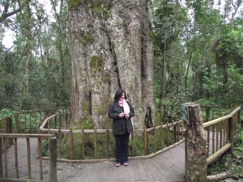 Geelhoutboom