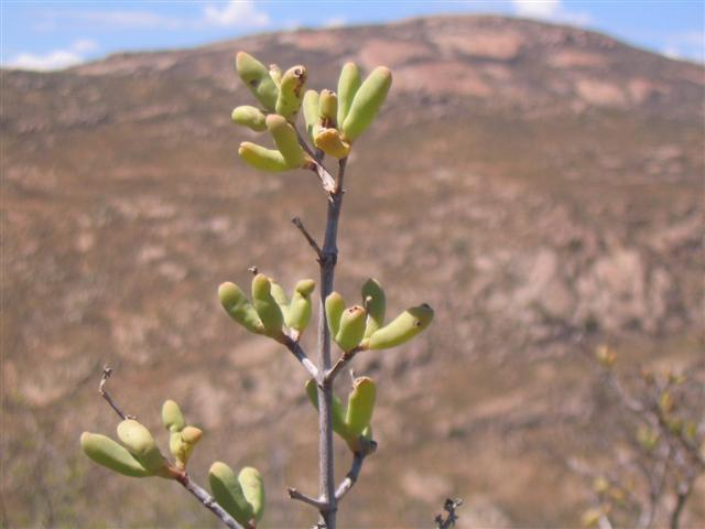 Namakwaland plantjie